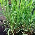 Herb Seeds - Lemon Grass - 125 Seeds