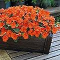 Park Seed Shady Lady II Orange Hybrid Impatiens Seeds