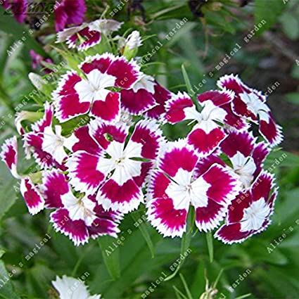 Amazon 200pcs pink dianthus seeds carnation seeds perennial 200pcs pink dianthus seeds carnation seeds perennial flowers potted plants white sweet william flower bonsai 2 mightylinksfo