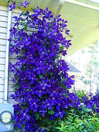 Amazon Com 100pcs Bag Clematis Seeds Flowers Clematis Vine Seeds