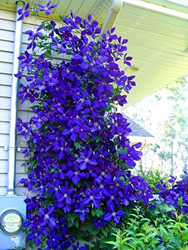 Amazon 100pcsbag clematis seeds flowers clematis vine seeds 100pcsbag clematis seeds flowers clematis vine seeds perennial flower seeds climbing clematis plants bonsai mightylinksfo