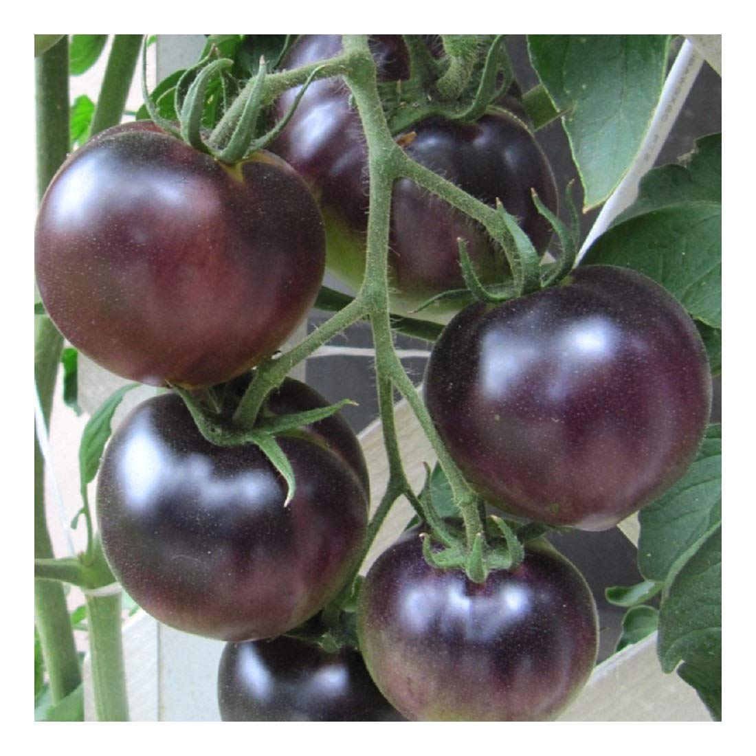 PREMIER SEEDS DIRECT Tomato - Black Cherry - 200 Finest Seeds