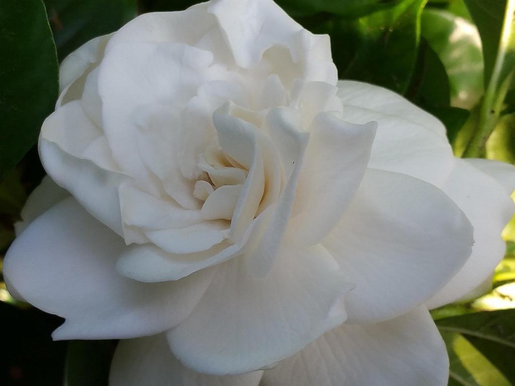 Gardenia Mystery Qty 60 Live Plants Flowering Shrub