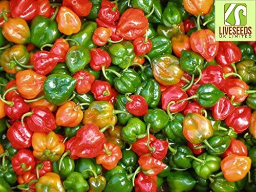 Liveseeds Hot Pepper Orange Scotch Bonnet orange  Chili Pepper 10 Seeds