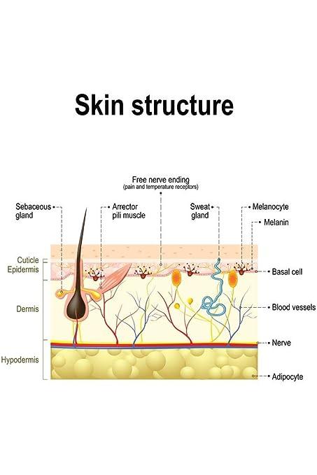 Amazon Human Skin Anatomy Educational Chart Poster 24x36 Inch