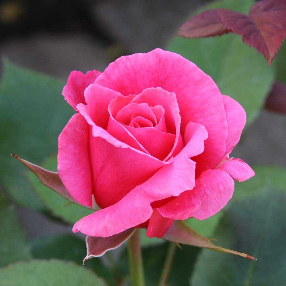 Own-Root One Gallon Electron Hybrid Tea Rose by Heirloom Roses