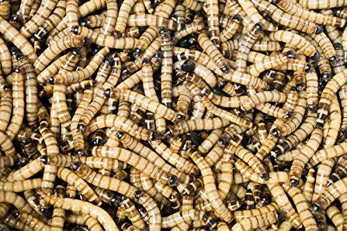 61g9JuLQ3IL - Josh's Frogs Superworms (200 Count)