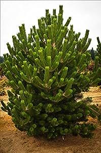 1 Starter Plant of 1-2ft Austrian Pine Tree