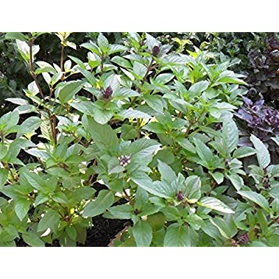Cinnamon Basil 100 Seeds Fresh Heirloom Culinary Scent Herb Plant Pesto Spicy : Garden & Outdoor