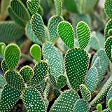 100pcs Cactus Flower Seed Rare Flower Prickly Pear Perennial Flowering Potted Plants Opuntia Succulent Plants