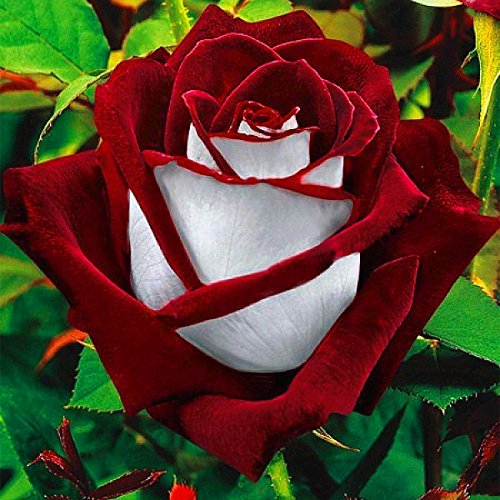 20Pcs Rare Seed Osiria Rose Ruby Rose Flower Seeds Garden Plant Red with White ()