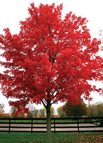 October Glory Red Maple Tree - Shade Healthy Rooted - 1 Plant in 1 Trade Gallon Pot (Red Tree Maple)