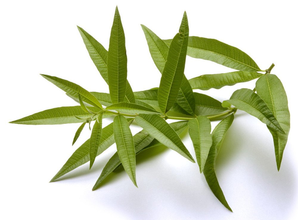 Lemon Verbena Plant - Perennial Herb - Aloysia - Indoors or Out - 4'' Pot