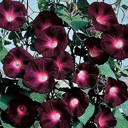 Morning Glory Seeds - Knowlians Black - Packet, Summer/Dark Purple Flowers