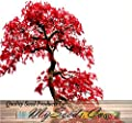 4 Packs x 10 RED MAPLE Tree Seeds - Acer rubrum - EXCELLENT for JAPANESE BONSAI - Grows In Full Sun OR Partial Shade - Zones 5 - 9 - By MySeeds.Co