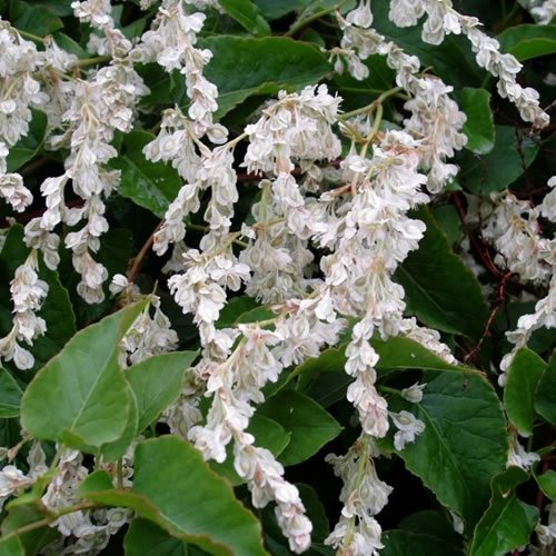 3 X POLYGONUM 'BALDSCHUANICUM' RUSSIAN VINE DECIDUOUS SHRUB HARDY PLANT IN POT Gardener's Dream
