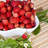 Wild Strawberry Supreme seeds - Fragaria virginiana Mill