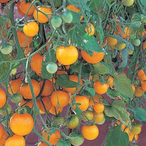 tumbling-tom-yellow-cherry-tomato-4-plants