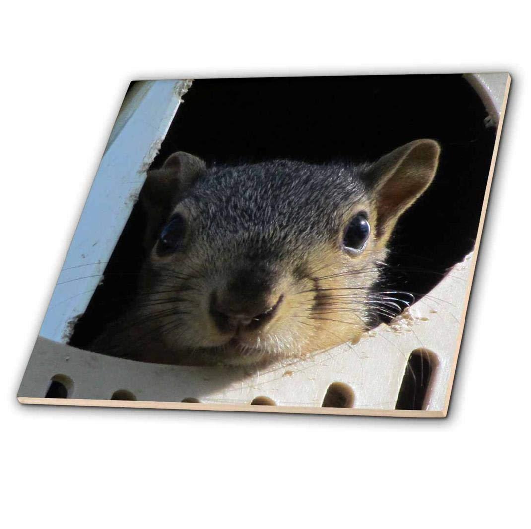 3dRose ct/_19083/_2 Baby Squirrel in a Martin Bird House Ceramic Tile 6