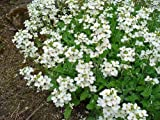 New WHITE ALPINE ROCKCRESS Aubrieta Rock Cress Arabis Alpina Flower 800+ Seeds