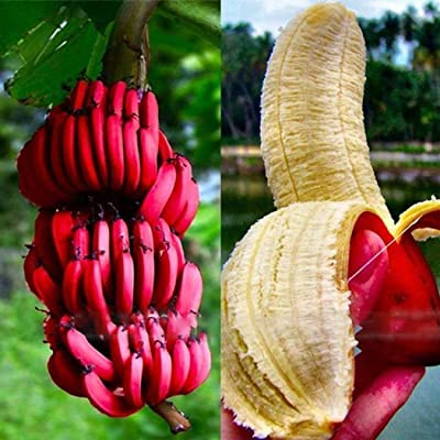 HOTUEEN Nutrient-rich Garden Balcony Beautiful Fruit Plants Red Bananas Seeds Fruits: Home Improvement