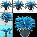 Seed 100 Pcs Blue Sago Palm Tree Seeds Cycad Bonsai Planting Home Garden Decoration