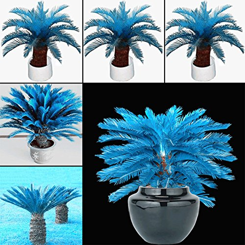 YHCWJZP 100 Pcs Blue Sago Palm Tree Seeds Cycad Bonsai Planting Home Garden Decoration