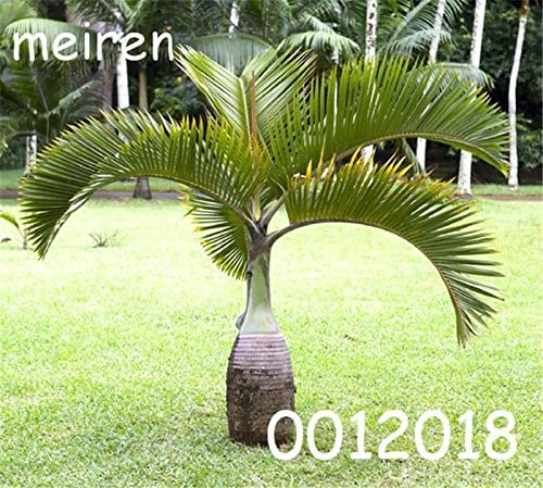 AGROBITS 10 Pcs//Bag Bottle Palm Flores Exotic Plants Tree Home Garden Balcony Bonsai Pots Beautiful Tropical Ornamental Tree seedlings 12
