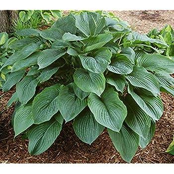 Amazon empress wu hosta pp 20 774 healthy live plugged empress wu hosta pp 20774 healthy live plugged plant perennial flower mightylinksfo