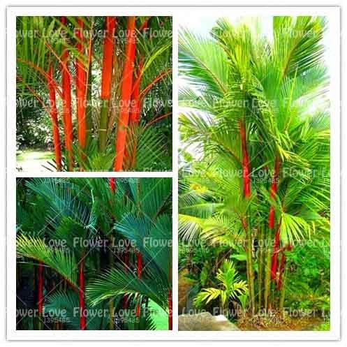 (10PCS Lipstick Palm Bonsai Cyrtostachys Renda Tree, Red Sealing Wax Palm Bonsai Ornamental Potted Plants for Home Garden Plant)