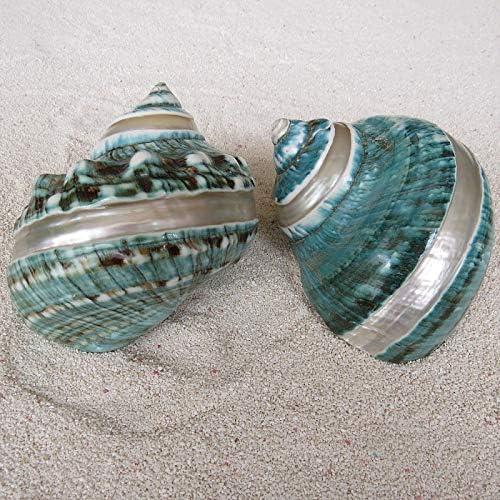 Hermit Cangrejo Conchas Mar Conchas De Caracol 4