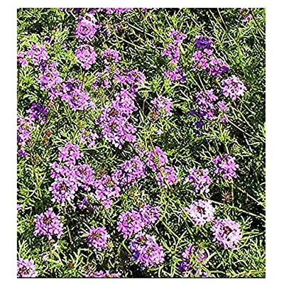 Purple Moss Verbena - Ground Cover - for Zones 6-10 - 3300 Seeds : Garden & Outdoor