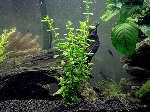 Easy aquarium plant package 10 20 gallon by aquatic arts for Easy aquatic plants