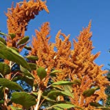 Orange Giant Amaranth Seeds - 50+ Rare Organic Heirloom Grain Seeds