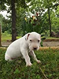 DOGO ARGENTINO THE ULTIMATE HUNTING AND HOUSE DOG