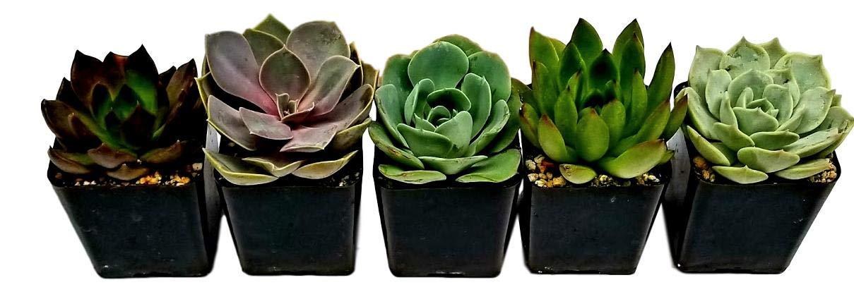 Fat Plants San Diego All Rosette Succulent Plants in 2 Inch Pots (3)