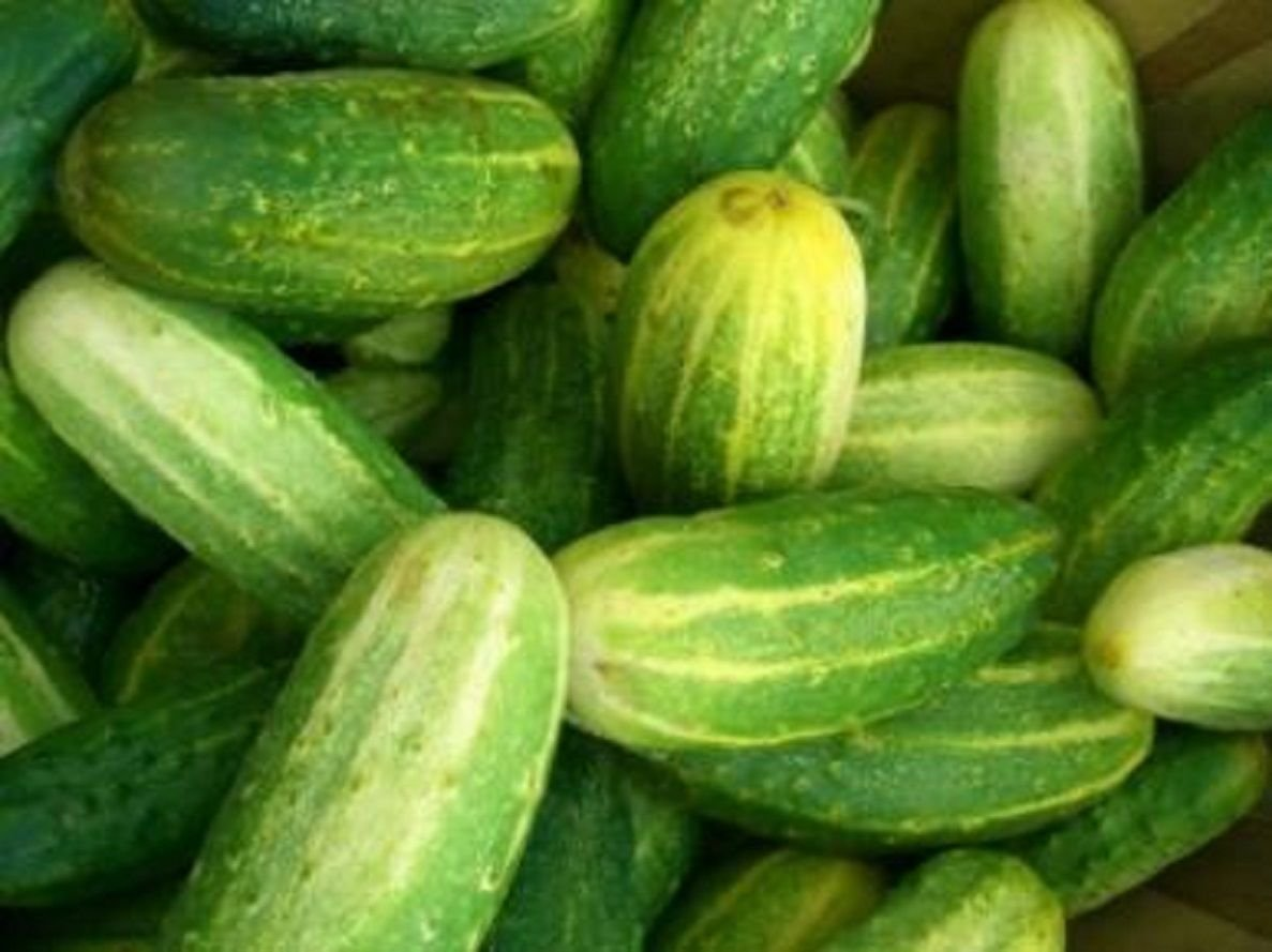 "/"" BOSTON PICKLING /"" CUCUMBER SEEDS CONTINUOUS PRODUCING HIGH YIELDS *"