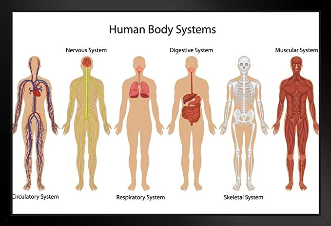 Amazon Systems Of Human Body Anatomy Chart Illustration Framed