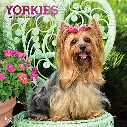 Yorkies 2019 12 x 12 Inch Monthly Square Wall Calendar with Foil Stamped Cover, Animals Small Dog Breeds Yorkshire Terriers (Multilingual Edition)