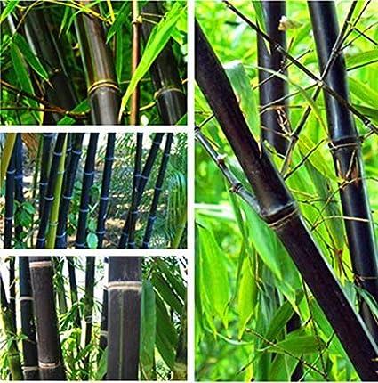 Black Bamboo Seeds Phyllostachys Nigra Rare Purple Garden