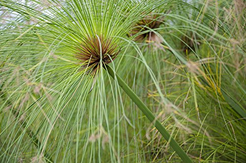 - Cyperus papyrus EGYPTIAN PAPYRUS Seeds!