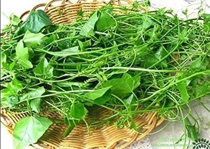 Amazon.com: Ivy semillas de calabaza (coccinia GRANDIS ...