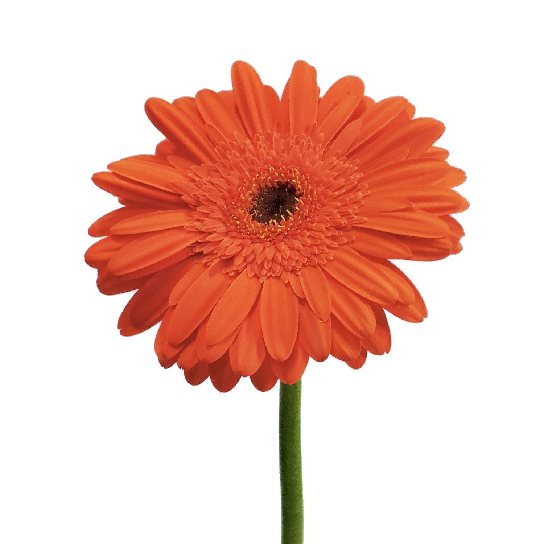 Orange Gerberas - 50 Stems by Bloomingmore