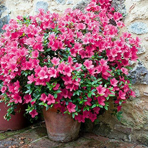 Cottage Hill Floramore Azalea 'Hot Pink' - 2 Piece Live Plant Blooms