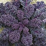 SeeKay Borecole 'Scarlet' (Kale) 400 seeds