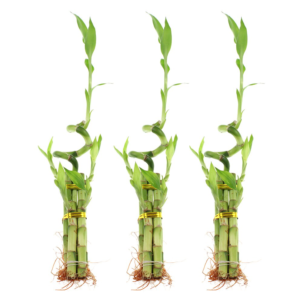 12 Inch Live Lucky Bamboo 5 Stalk with Spiral Set of 3 Arrangements - Live Indoor Plant for Home Decor, Arts & Crafts, Zen Garden and Feng Shui by NW Wholesaler