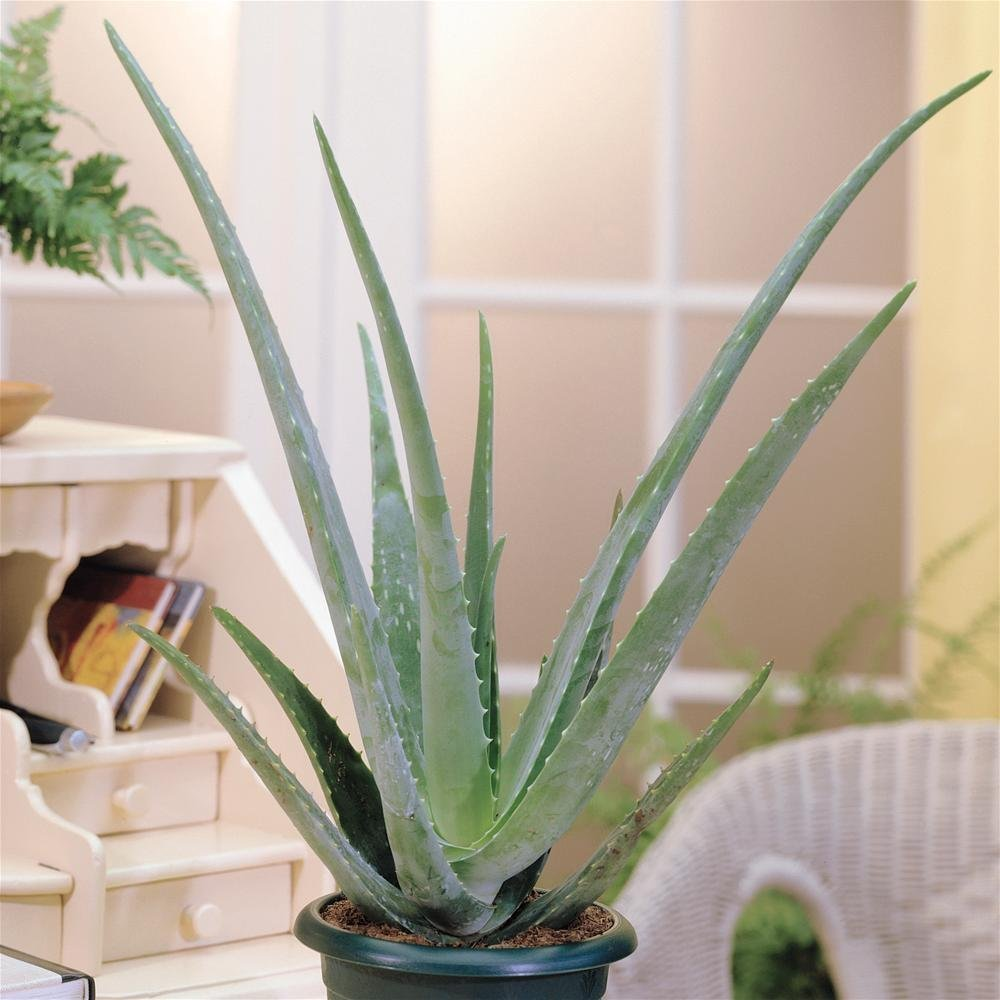 3 Best Ways To Use Aloe Vera For Anti-Aging
