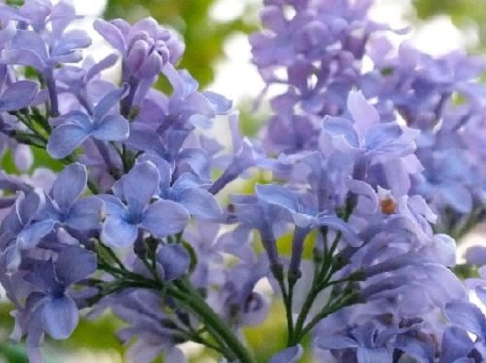 LILAC SHRUB VERY FRAGRANT 3L 1X 2-3FT LARGE SYRINGA VULGARIS LILAC BUSH PLANT