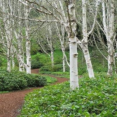 White Paper Birch Tree Seeds (Betula papyrifera) 50+Seeds : Garden & Outdoor