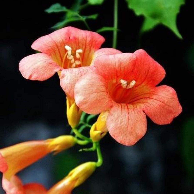 C-LARSS 100Pcs / Bag Rare Campsis Grandiflora Seeds - Fácil De Plantar - Color Mezclado - Coloridas Semillas De Plantas Trepadoras Para El Hogar Semillas de Campsis Grandiflora